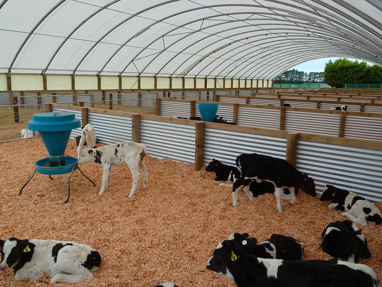 Raising healthy calves for diary farming